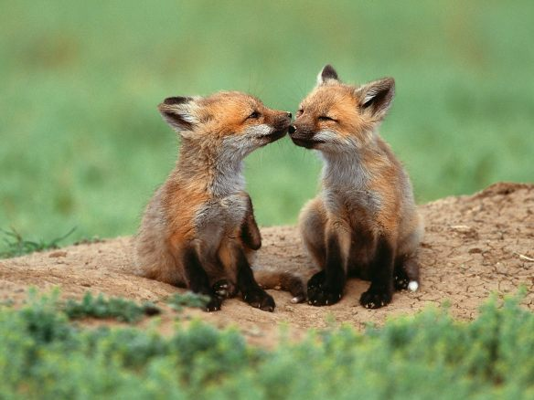 cute foxes